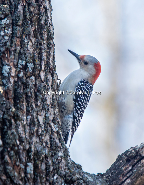 A red-bellied woodpecker hangs on a tree.