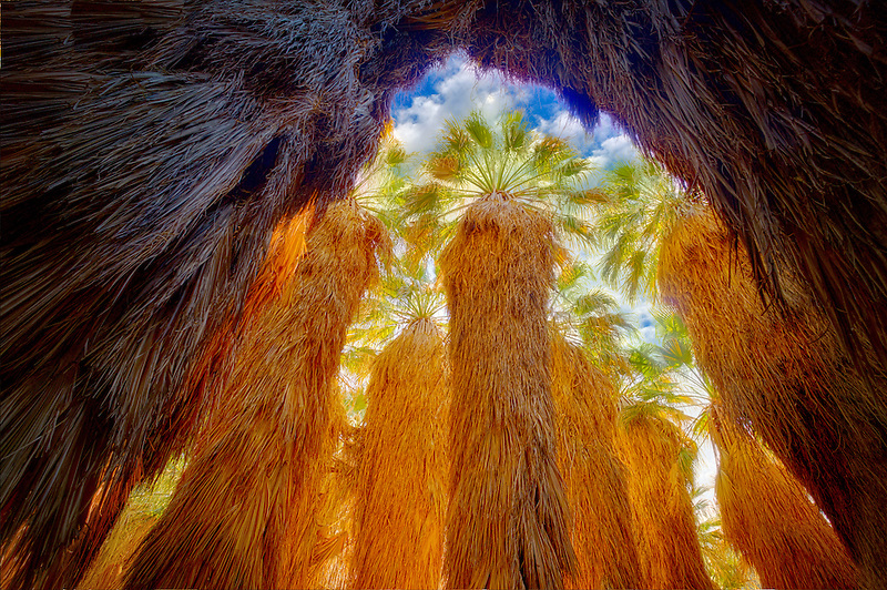 Looking up into grove of California Fan Palm. Coachella Valley Preserve. California