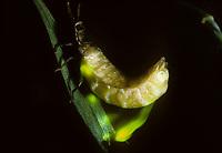 Kleines Glühwürmchen, Weibchen mit Leuchtorganen, leuchtet, Johannis-Würmchen, Johanniswürmchen, Gemeiner Leuchtkäfer, Kleiner Leuchtkäfer, Johanniskäfer, Lamprohiza splendidula, Phausis splendidula, small lightning beetle, female, glowworm, firefly, fireflies, glowfly, glowflies, Leuchtkäfer, Lampyridae