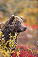 Female grizzly bear, autumn blueberry patch, Denali National Park, Alaska