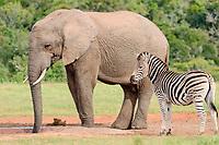 African bush elephant bull (Loxodonta africana) drinking at waterhole with Burchell's zebra (Equus quagga burchellii), Addo Elephant National Park, Eastern Cape, South Africa, Africa