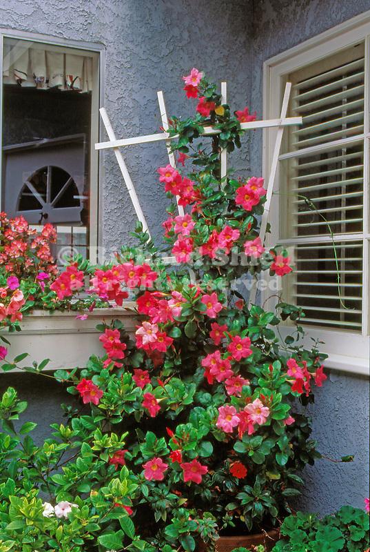 9260-CM Red Riding Hood Mandevilla, Mandevilla sanderi `Red Riding Hood', in pot, trellis, Seal Beach, California