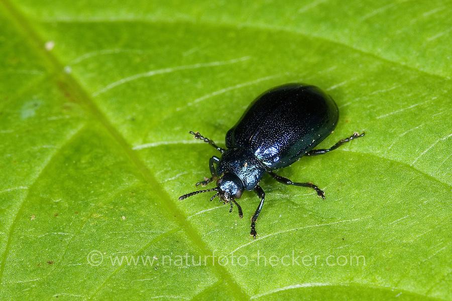 Erzfarbener Erlenblattkäfer, Erzfarbener Erlen-Blattkäfer, Linaeidea aenea, Chrysomela aenea, alder chrysomelid beetle
