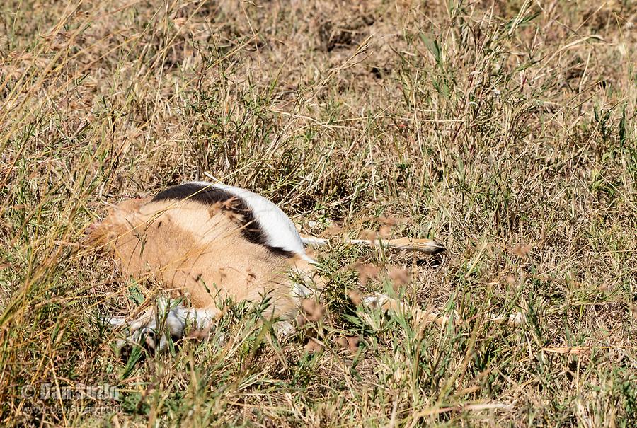 A Thomson's Gazelle, Eudorcas thomsonii, that has just been killed by a Cheetah, Acinonyx jubatus jubatus, in Serengeti National Park, Tanzania