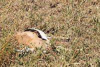 A Thomson's Gazelle, Eudorcas thomsonii, that has just been killed by a Cheetah, Acinonyx jubatus jubatus, in Serengeti National Park, Tanzania