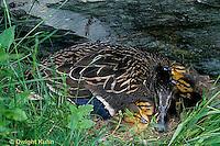 DG08-103z  Mallard Duck - female with young - Anas platyrhynchos