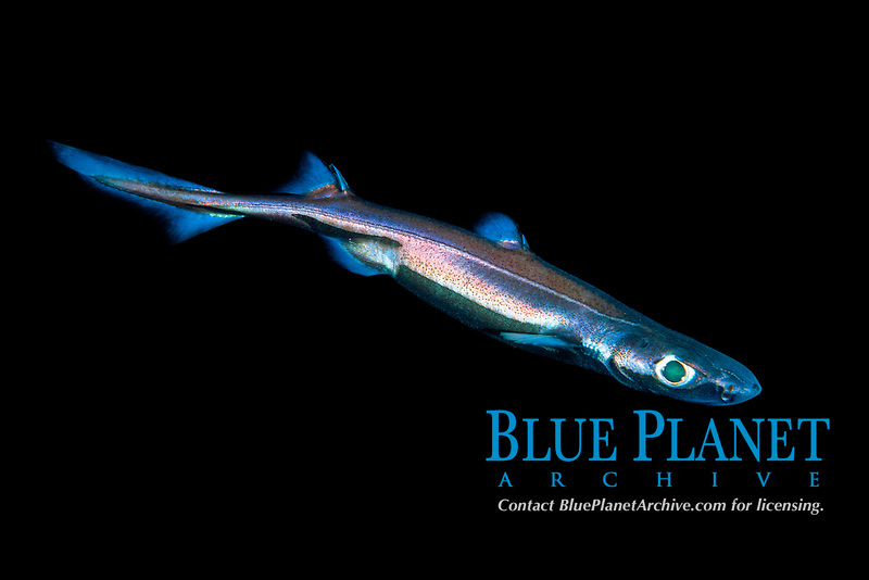 velvet belly lanternshark, Etmopterus spinax, note blue color tint is from bioluminescent light emitted by the shark, Forsand, Rogaland, Norway, Atlantic Ocean