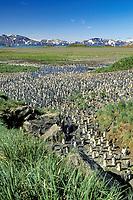 king penguin rookery, Aptenodytes patagonicus, Salisbury Plain, South Georgia Island, U.K., Atlantic