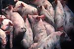 Farm Animals- Pigs
