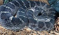 0514-1101  Arizona Black Rattlesnake, Upland Rattlesnake, Crotalus cerberus (formerly Western Rattlesnake or Prairie Rattlesnake, Crotalus oreganus cerberus or Crotalus viridis cerberus)  © David Kuhn/Dwight Kuhn Photography