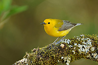 Prothonotary Warbler (Protonotaria citrea), adult male, South Padre Island, Texas, USA