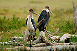 Lappet-faced vultures in Africa