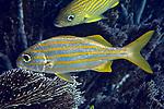 Brachygenys chrysargyreum, Smallmouth grunt, Florida Keys