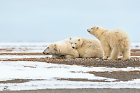 Polar Bear (Ursus maritimus) family takes a break. Mom led the cubs across the icy bay, out to this spit of land off the coast of Kaktovik. It was a journey of a couple miles so she certainly needed a break. However, she needed to remain on the look out for other bears. They could pose a danger to her cubs.