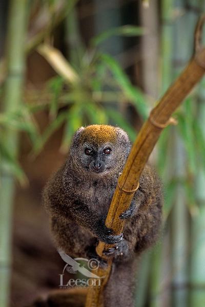 Bamboo Lemur or Gray Gentle Lemur (Hapalemur griseus) Endangered Species