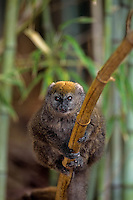 Bamboo Lemur or Gray Gentle Lemur (Hapalemur griseus) Endangered Species