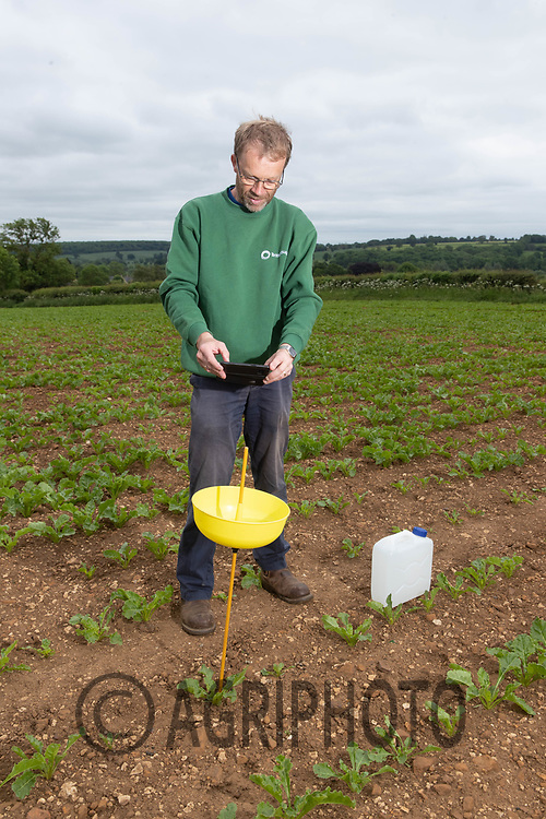 10-6-2021 British Sugar area manager Philip Ecclestone checking aphid traps in crop of sugar beet in Rutland<br /> ©Tim Scrivener Photographer 07850 303986<br />      ....Covering Agriculture In The UK....