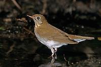 Swainson's Thrush, Catharus ustulatus, adult, High Island, Texas, USA, April 2001