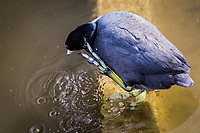 "An American Coot uses its lobed, not webbed, feet to scratch where it itches whle standing in the water at ""The Duck Pond"" neighborhood park in San Lorenzo, California ."