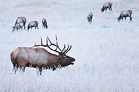 Frosty morning and bugling bull Elk (Cervus canadensis), Cataloochee Valley