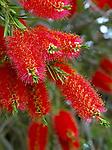 New Zealand, Rata Tree | Neuseeland, Rata Baum