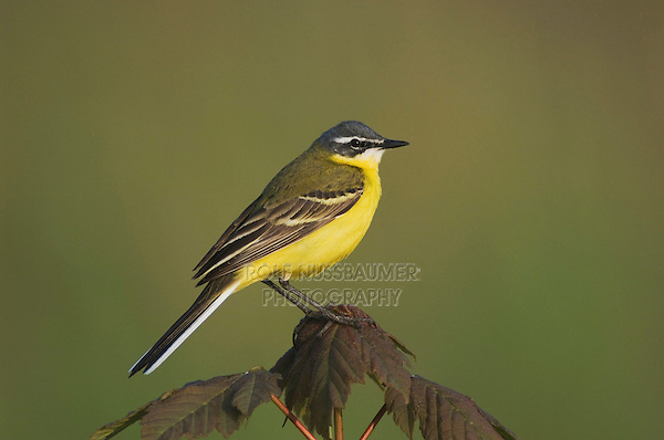 Yellow Wagtail, Motacilla flava, male on maple, National Park Lake Neusiedl, Burgenland, Austria, April 2007