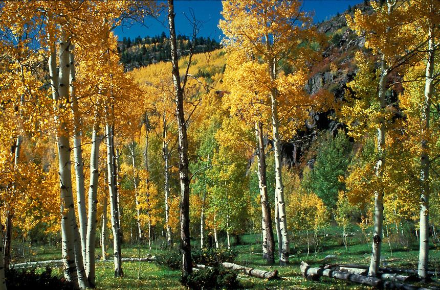 Fall color in aspen trees