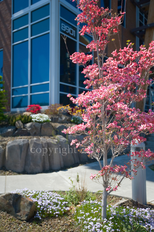 Cherry Blossoms in front of Office Building