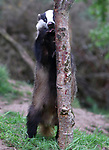 Badger plays hide and seek with from behind a tree by Peter Lewis