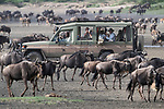 Herds of white-bearded wildebeest (Connochaetes taurinus albojubatus) watched and photographed by tourists on the shores of Lake Ndutu. Ngorongoro Conservation Area / Serengeti National Park, Tanzania, East Africa