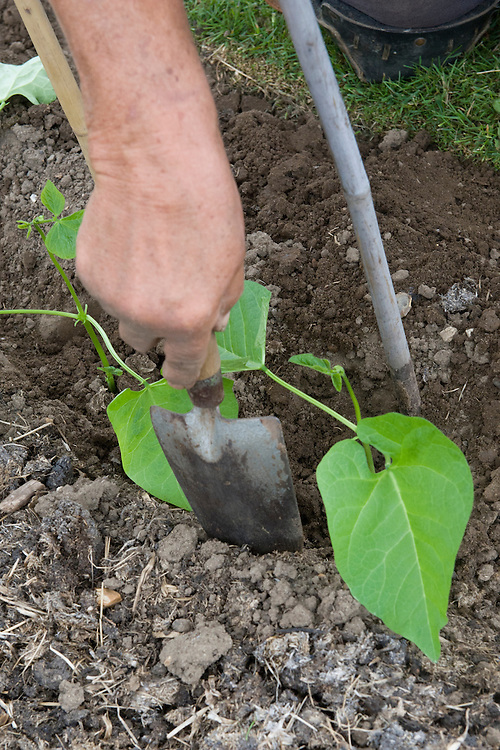 Planting out runner bean seedlings, mid June.