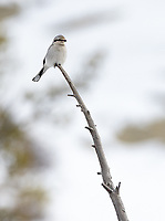 This was my first time photographing the Northern Shrike in Yellowstone.