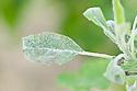 Apple powdery mildew (Podosphaera leucotricha), early May.