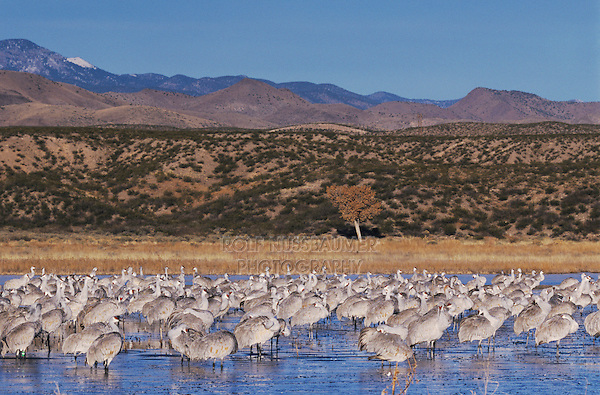 Sandhill Crane, Grus canadensis,group at roosting place, Bosque del Apache National Wildlife Refuge , New Mexico, USA, December 2003