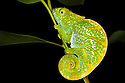 Parsons chameleon juvenile {Calumma parsonii} in tropical rainforest at night. Andasibe-Mantadia NP, Madagascar