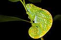 Parsons chameleon juvenile {Calumma parsonii} in tropical rainforest at night. Andasibe-Mantadia NP, Madagascar