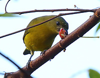 Female hepatic tanager eating fruit