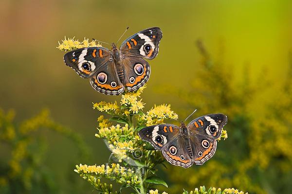 Common Buckeye butterflies (Junonia coenia) on goldenrod. Their bold eyespots serve to startle or distract predators and allow a quick escape.  Autumn, Ontario, Canada.