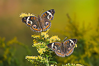 Common Buckeye butterflies (Junonia coenia) on goldenrod. Their bold eyespots serve to startle or distract predators and allow a quick escape.  Autumn, Ontario, Canada.