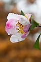 Autumn-flowering Camellia sasanqua 'Rainbow', early November.