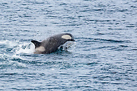 killer whale or orca, Orcinus orca, Type B2 killer whale, lunging in Dallmann Bay, Antarctica, Southern Ocean