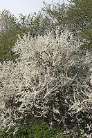 Gewöhnliche Schlehe, Schwarzdorn, Hecke, Hecken, Knick, Prunus spinosa, Blackthorn, Sloe, Epine noire, Prunellier