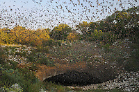 Mexican Free-tailed Bat (Tadarida brasiliensis), bats leaving cave, Bracken Cave, San Antonio, Hill Country, Central Texas, USA