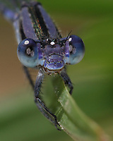 The Lavender Dancer (Argia hinei) is a damselfly native to the western United States from west Texas to southern California, as well as adjacent regions of northern Mexico.