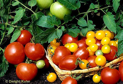 HS09-045b  - Tomato - buffalo variety on stem, LaRossa, celebrity, gold nugget in basket