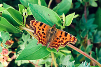 Comma (Polygonia c-album) on green leaf, wings open