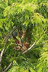 Two-toed sloth, Tiputini