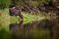 Grizzly Bear getting a drink