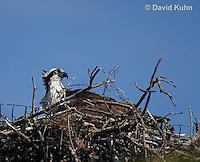 0608-0903  Osprey Sitting On and Caring for its Nest (Sea Hawk), Pandion haliaetus  © David Kuhn/Dwight Kuhn Photography
