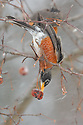 00980-019.06 American Robin is feeding on crab apples during a snowstorm.  Survive, cold, winter.  V5R1